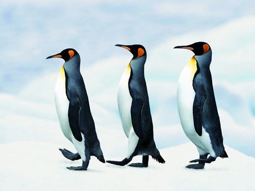 为什么企鹅们以一列纵队行走