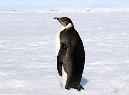 雄帝企鹅连续几个月不吃东西是怎么活下来的