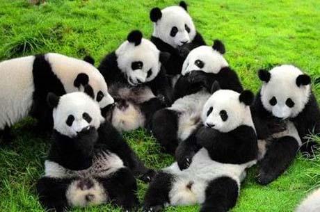 熊猫究竟是熊吗