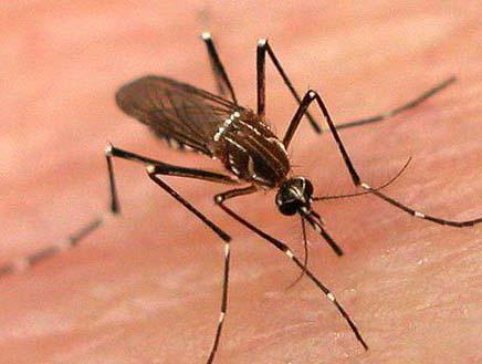 蚊子吸血能把人吸死吗