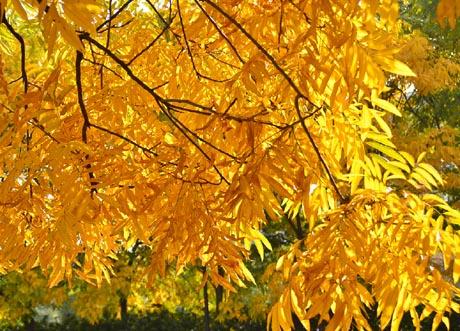 秋天树叶为什么会变黄