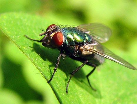 苍蝇喜欢搓腿是有原因的