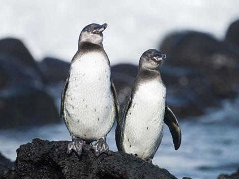 赤道附近竟然也有企鹅
