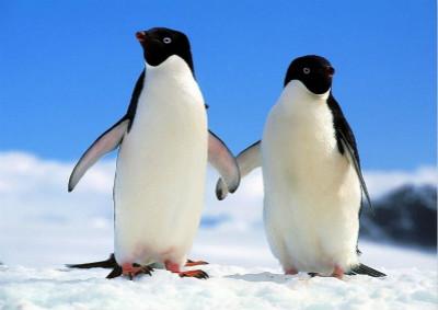 阿德利企鹅为何怕黑