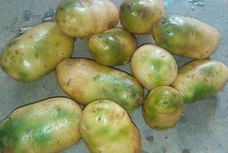 土豆变绿为什么就不能吃了