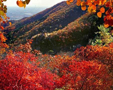 """香山的红叶是并不是枫树叶子 而是""""黄栌""""叶子"""