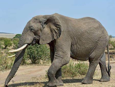 大象能跳起来吗