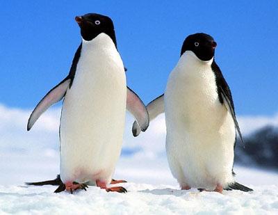 企鹅的脚为什么不怕冻