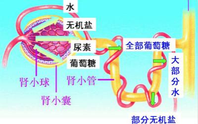 人每天产生180升原尿只排出1.5升尿液