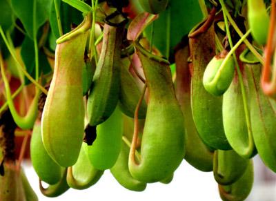 猪笼草—吃虫子的植物