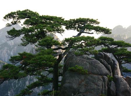 世界上最古老的树近一万岁