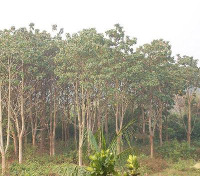 轻木—世界上最坚硬的木头