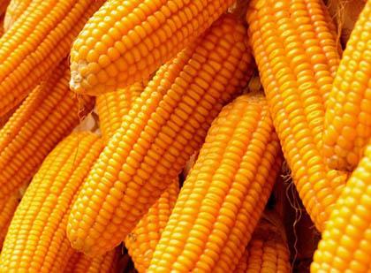 """【辟谣】转基因玉米惹的""""祸"""""""