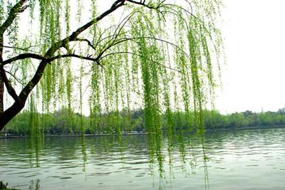 柳树为什么都种在水岸边