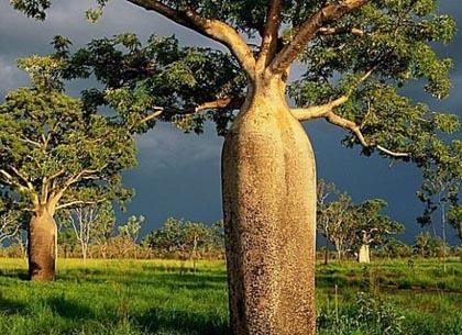 纺锤树和瓶子树—能存储水的树