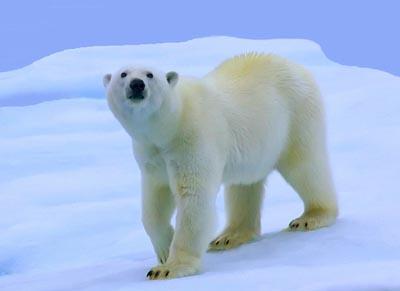 冷翅膀|北极熊在冰上走不滑倒蜗牛作文长童话的知识图片