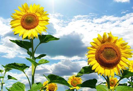 向日葵为什么总向日而不向其他方向呢