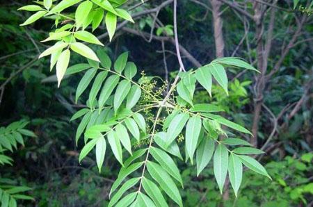 漆树—能张嘴咬人的植物