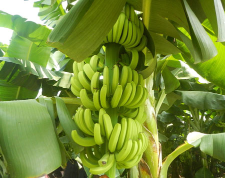 香蕉是长在树上的吗?香蕉其实是草本植物