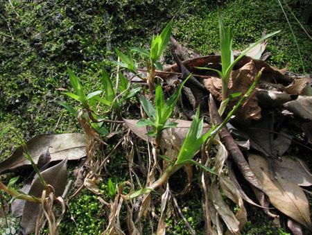 钻草—可以决定地出生的植物