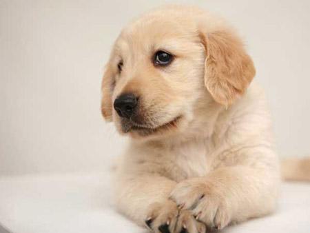 为什么狗鼻子大都是黑色的