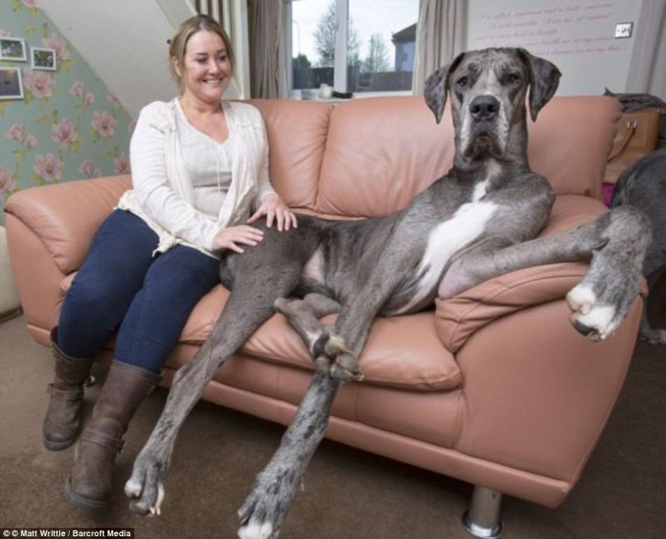 世界上最大的狗—站起来高2.3米