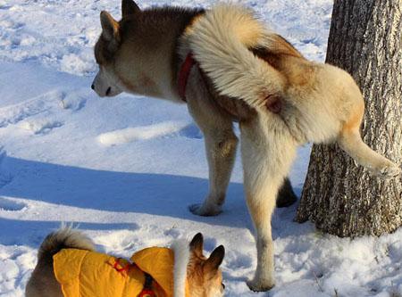 为什么狗狗尿尿时抬起一只腿