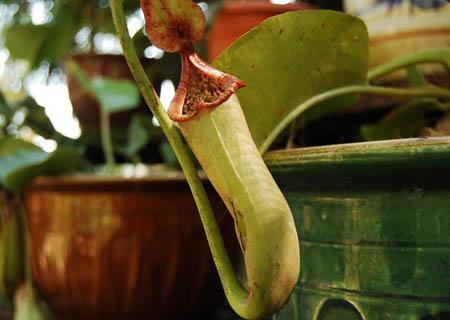 植物也会食肉吗 自然界有哪些吃肉的植物
