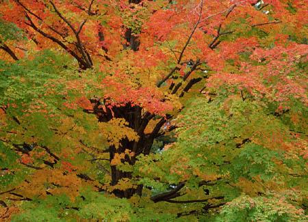 糖槭树—会流糖浆的树