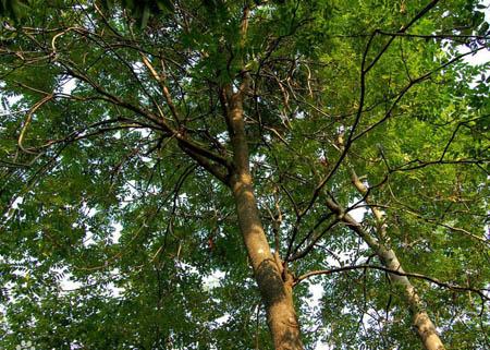 梓柯树—不怕被火烧的植物