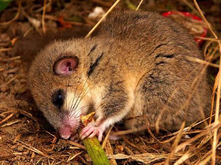睡鼠—冬眠最长的动物