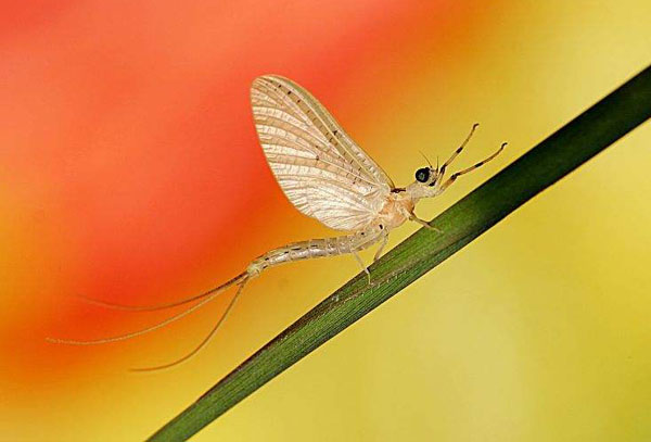 蜉蝣—寿命最短的昆虫
