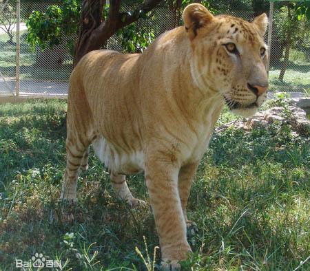 """老虎和狮子能生出狮虎兽 狗和猫能生出""""狗猫""""吗"""