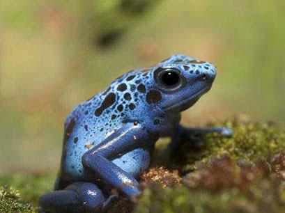 毒箭蛙—世界上最毒的蛙