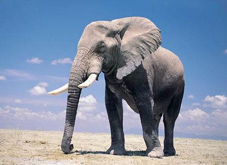 大象为什么能长那么大 是因为吃得多吗