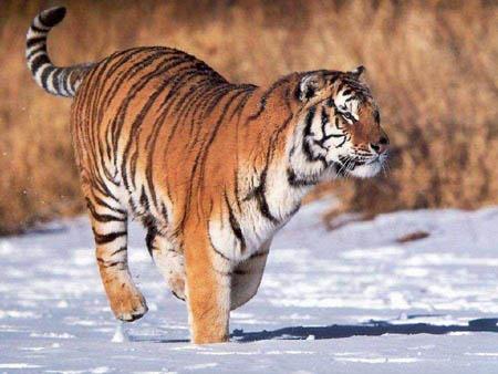 东北虎—体型最大的老虎