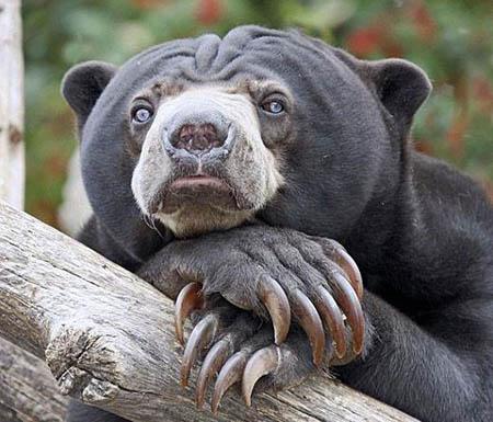 马来熊—世界上最小的熊