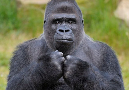 大猩猩为何会拍胸脯