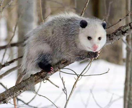 美洲负鼠—世界上最大的老鼠
