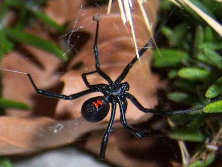 红斑蛛—世界上最毒的蜘蛛