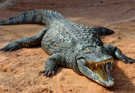 湾鳄—最大的爬行动物
