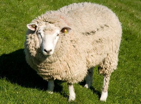 将绵羊放到水中 绵羊身上的羊毛会缩水吗