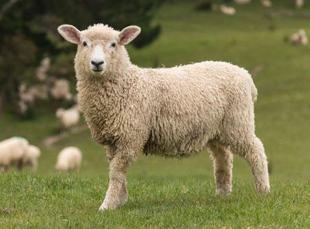 把绵羊放到水里 它身上的羊毛会不会缩水
