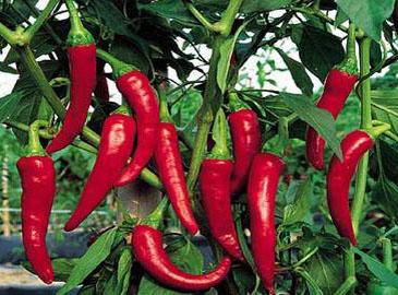世界上最辣的辣椒是什么