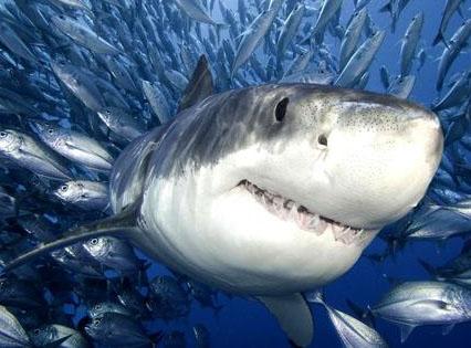 鲨鱼为什么喜欢摇晃小船 其实为了止痒