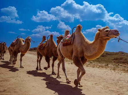 骆驼来自哪里 祖先源于北美