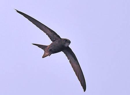 尖尾雨燕:世界上飞得最快的动物