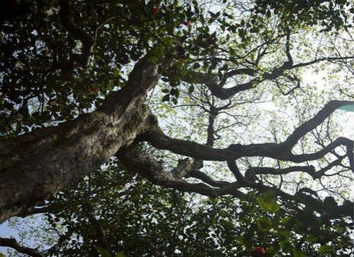 世界上最孤独的树:普陀鹅耳枥
