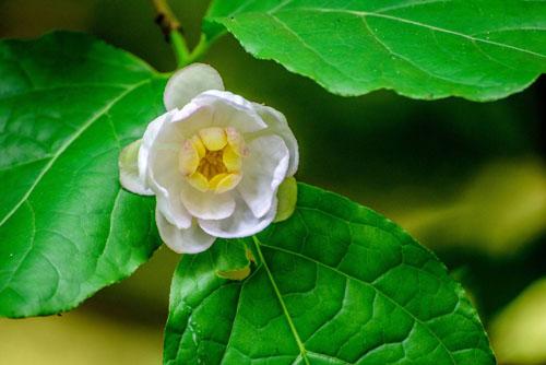 夏腊梅:在夏天开的梅花