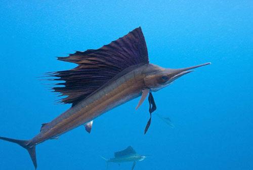 世界上游得最快的鱼:旗鱼
